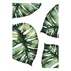 Native State Monstera Leaf A3 Unframed Print: Add some delicate watercolour greenery into your home with this perfect monstera leaf print by Native State.