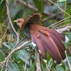 Squirrel Cuckoo (Brazil)