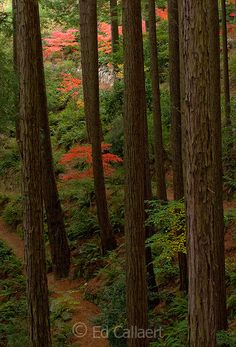 Japanese Maples, Redwoods, Fern Canyon Garden, Mill Valley, California