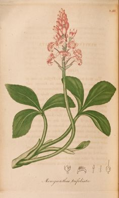 """Possibly engraved by W. B. Annin or Annin and Smith from a drawing by Jacob Bigelow(?). Colored engraving of Menyanthes trifoliata or Buck Bean (Figure 1) with """"Calyx"""" (Figure 2), """"Petal"""" (Figure 3), """"Stamen"""" (Figure 4), """"Style"""" (Figure 5), and """"Fruit"""" (Figure 6)."""