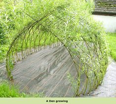 willow hedge structures den in summer