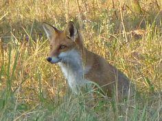 Aufmerksamer Blick: Fuchs im Thurbruch, einer teilweise meliorierten Sumpflandschaft.