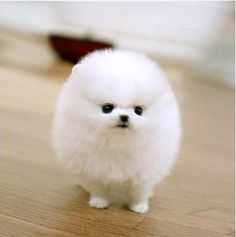 Puffy Puppy | Pocket-Sized Pooches: 7 Ridiculously Tiny Dogs - Yahoo! She Philippines