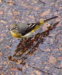Grey Wagtail - Wikipedia, the free encyclopedia