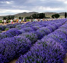 Young Living Farms Lavender ~ Mona, UT Lavender Garden, Lavender Fields, Lavender Flowers, Pretty Flowers, Provence, Lavender Drink, Young Living Lavender, Lavender Benefits, Essential Oils For Colds