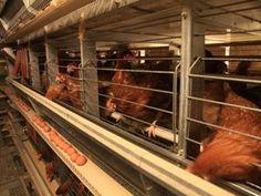 Häkkikanaloissa kanat munivat munintapesiin, joista munat vierivät keräilyhihnalle.