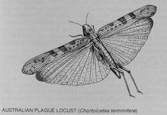 Locust.jpg (1627×1128)