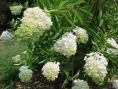 Panicle Hydrangea, (Tree Hydrangea), Hydrangea paniculata, Seeds (Fast, Showy)