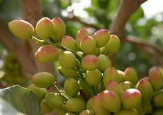 Pistachio nuts growing on the tree