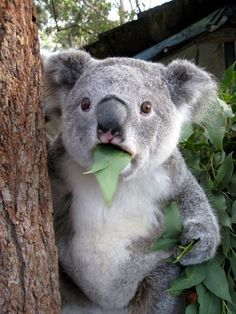 A koala with three leaves sticking out of his mouth.