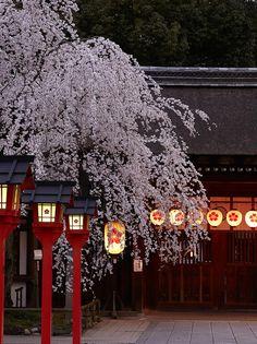 桜と言えば染井吉野が有名ですが、京都では時季に応じてさまざまな桜を楽しむことができます。この桜が咲くと京都の花見が始まると言われる一番の早咲きは、「平野神社」の魁(さきがけ)の桜。