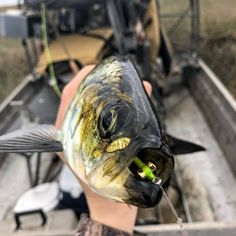 Poonlike Shad on #5wt Fly by @ethan_carroll_24 @saltyfliesco . . . . #flyfishing #shad #flyfishingjunkie #flytying #shadonfly #onthefly #dope #epic #catch #paddleboardfishing #kayakfishing #canoefishing #paddleflyfishing #florida #fishing #saltwaterfishing #freshwaterfishing #adventure #fishingclub #saltflies #freshwaterflies #weekendvibes #wefloodthewaters #goodvibes #explore #mindset #therapy