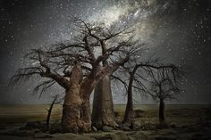 Wise ancient trees set in the foreground of the epic Milky Way Photographer: Beth Moon Location: Across Southern Africa
