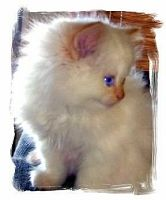 flame point himalayan kittens - free classified ads