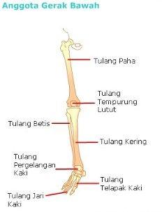 Tulang Tempurung : tulang, tempurung, Kerangka, Manusia, Fungsi,, Bagian-Bagian, Rangka, Serta, Penjelasannya, Manusia,, Kedokteran,, Biologi