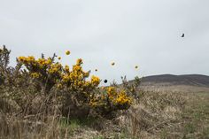 Lin de Mol - For the Love of Gorse