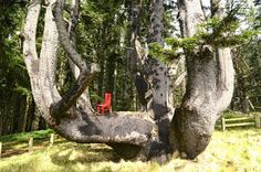 The Red Chair sits with the Octopus Tree #redchairtravels #traveloregon #tillamookcoast #oregoncoast