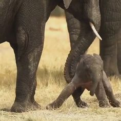 Know comparison, difference and similarity between Asian Elephant vs African Elephant. Go further compare Asian Elephant vs African Elephant fight, who will win? Elephant Gif, Little Elephant, Elephant Love, African Elephant, Funny Elephant Videos, Baby Elephant Video, Newborn Elephant, Elephant Tattoos, Baby Animals Pictures