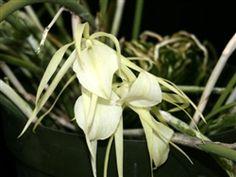 Brassavola ovaliformis Orchid Species | Uncommon Orchids