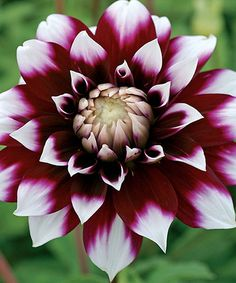 Another great find on #zulily! 'Mystery Day' Dahlia Bulb #zulilyfinds