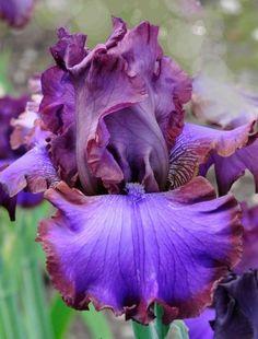TB Iris germanica 'Strut Your Stuff' (Black, 2007)