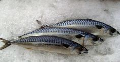 Mackerel ice fish or scientifically known as Champsocephalus gunnari, is a small fish found in the southern sea only. Sadly, due to overfishing, ice fish mackerel nowadays considered as depleted species.