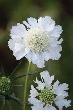 Scabiosa caucasia perfecta 'alba' aux grandes fleurs froufroutantes, blanc doux, de juin à septembre. Hauteur 50 cm, distance de plantation 50 cm (n'aime pas la concurrence des racines). Culture : terre ordinaire, drainée en hiver (aime le calcaire !). Soleil. Très rustique.