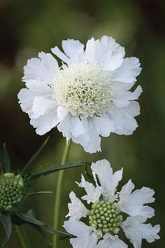 Scabiosa caucasia perfecta 'Alba' - Another delicate white flower Josie likes