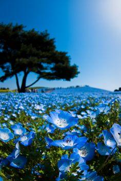 Blue Hill (Nemophila) Hitachi Seaside Park, Japan ひたち海浜公園 #ネモフィラ #Nemophila
