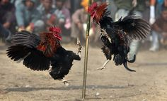 Roosters attack each other during rooster fight as part of Jonbeel festival near Jagiroad, about 75 kilometers (47 miles) east of Gauhati, India, Friday, Jan. 18, 2013. Tribal communities like Tiwa, Karbi, Khasi, and Jaintia from nearby hills participate in large numbers in the festival that signifies harmony and brotherhood amongst various tribes and communities. (AP Photo/Anupam Nath)
