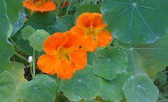 So säen Sie Kapuzinerkresse im Blumentopf aus