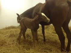 Blind Luck and her 2014 Giant's Causeway foal. Photo: Courtesy Hill 'n Dale Farm