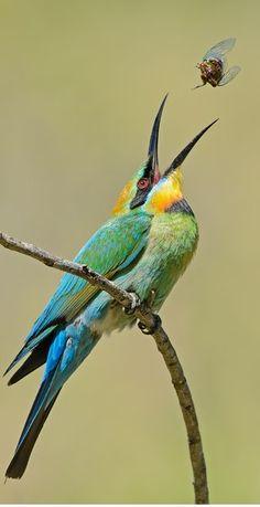 Abejaruco australiano - Rainbow Bee-eater - Regenbogenspint - Guêpier arc-en-ciel Exotic Birds, Colorful Birds, Bird Pictures, Animal Pictures, Beautiful Birds, Animals Beautiful, Wild Photography, Bee Eater, Australian Animals