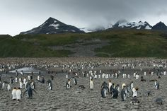 King Penguins at Salisbury Plain, South Georgia Island.  They go most of the way up the hills!!