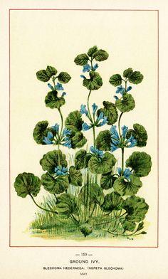 Vintage Illustration of Ground Ivy