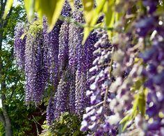 Glicina, la planta venenosa más linda de todas - Blogs lanacion.com