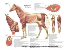 horse anatomy poster sets