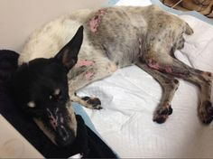 Quick links to share the petition: Justice for Arkansas dog strapped with fireworks! | Yousign.org