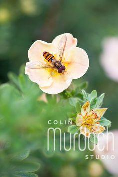 Bee on a Flower - Fine Art Photography For Sale at www.colinmurdochstudio.smugmug.com