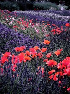 Lavender poppy heaven.