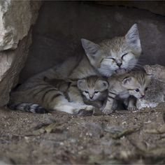 Rotem a Sand Cat is pictured with her three cubs at the Safari in Ramat Gan near Tel Aviv August 18 2015. Rotem gave birth to her cubs three weeks ago. The species is listed as near threatened and extinct from Israel according to the zoo's staff. REUTERS/Baz Ratner - More on @animalstory_match by parismatch_magazine