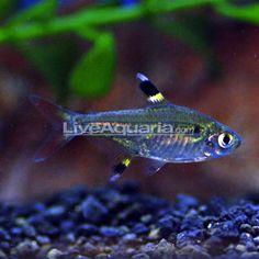 Tropical Fish for Freshwater Aquariums: X-Ray Pristella Tetra