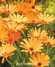 Sunny® Dark Florence African Daisy