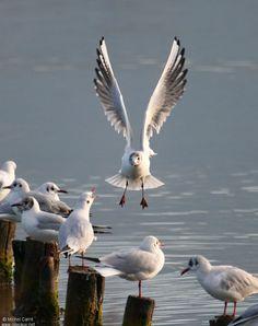"""mouettes - seagull... """"Une petite mouette est morte... Elle est tombee dans…"""