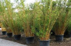Bamboo Plants for Sale and Non-invasive Clumping Bamboo from Bamboos Wholesale. Bambuspflanzen zum V Plants Near Me, Big Plants, Indoor Plants, Bamboo Landscape, Bamboo Garden, Landscape Design, Non Invasive Bamboo, Clumping Bamboo, Bamboo Plants For Sale