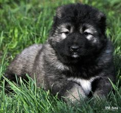 For sale: Caucasian Shepherd Dog - Female /  puppies