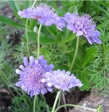 """Scabiosa """"Butterfly Blue"""". full sun perennial, 12-18""""H, blooms Summer to Fall. great for fresh cut flowers, attracts butterflies, bought 2009, planted in Trellis stairs perennials beds."""