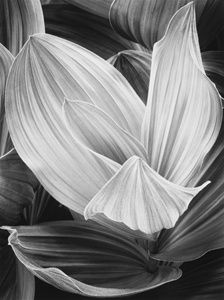 Corn Lily, Eastern Sierra Nevada, California by John Sexton