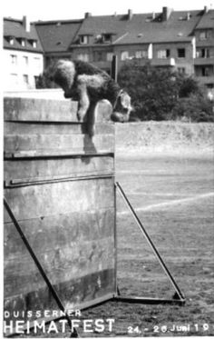 Training Airedales for war.