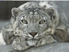 Snow Leopard. Key Messages: Overcoming Fear. Affirmation: I embrace my fear and in doing so I transform it.